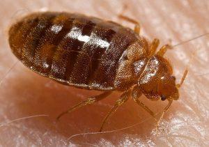 تصویری از ساس؛ از حشرات موجود در فرش